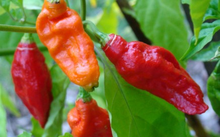 Bhut Jolokia peppers