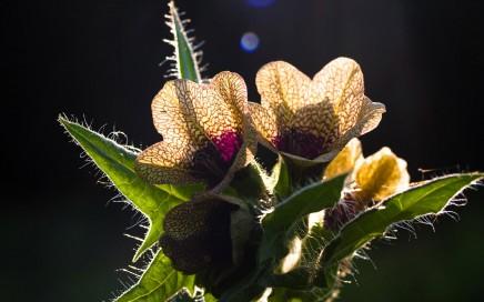 Herba Apollinares, a Hyoscyamus Niger