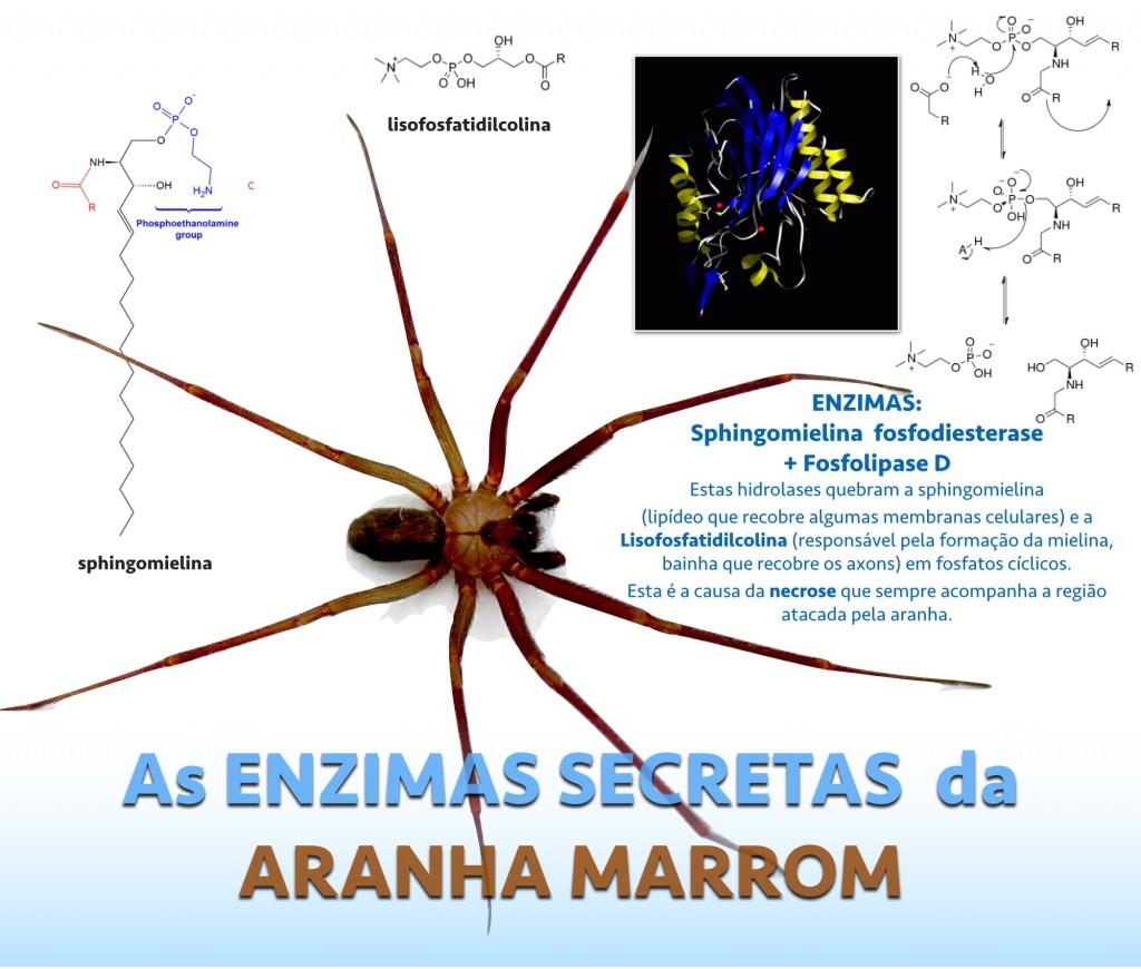 O veneno da aranha marrom
