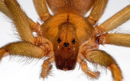 Os 3 pares de olhos da aranha marrom