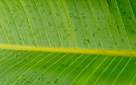 A folha da bananeira condensa a água sob a forma de gotas