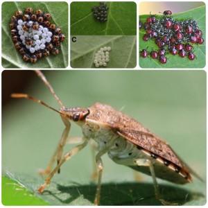 O inseto dos ovos camaleões