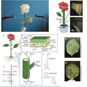 A Rosa Biônica implantada com circuitos eletrônicos