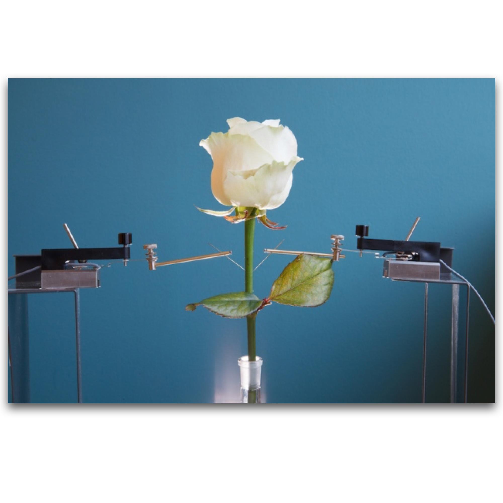 A rosa Biônica